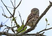 鵂鶹Collared owlet:IMG_2914.jpg