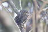 鵂鶹Collared owlet:IMG_9651.JPG