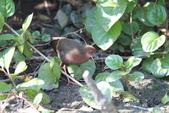 緋秧雞 Ruddy-breasted Crake:IMG_9319.JPG