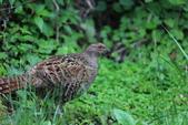 黑長尾雉 Mikado Pheasant:A23P0917.JPG