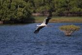 東方白鸛 Oriental White Stork:A23P6402.jpg