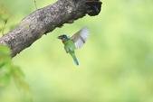 五色鳥:A23P9249.jpg