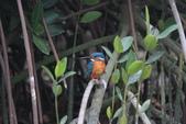 翠鳥 Common Kingfisher:IMG_5049.JPG