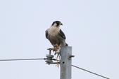 遊隼 Peregrine Falcon:IMG_6316.jpg
