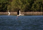 東方白鸛 Oriental White Stork:A23P7052.jpg
