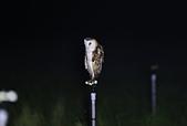 草鴞Grass Owl:A23P9515.jpg