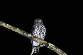褐鷹鴞 Brown Hawk Owl :IMG_2241-1.jpg