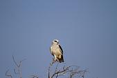 黑翅鳶 Black shouldered kite:IMG_3892.JPG