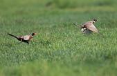 環頸雉 Common Pheasant:A23P8352.jpg