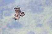 林鵰 Indian Black Eagle:IMG_0359.JPG