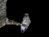 褐鷹鴞 Brown Hawk Owl :IMG_1118.JPG