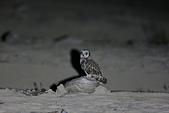 短耳鴞 Short-eared Owl:A23P0156.jpg