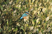 翠鳥 Common Kingfisher:IMG_5856.JPG