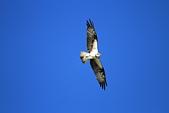 2012 魚鷹 Osprey:IMG_0649.JPG