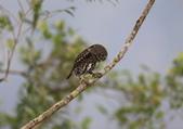 鵂鶹Collared owlet:A23P9519.jpg