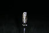 草鴞Grass Owl:A23P9677.jpg