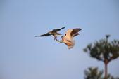 黑翅鳶 Black shouldered kite:A23P0846.JPG