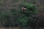 2014 環頸雉 Common Pheasant:A23P5979.JPG