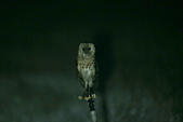 草鴞Grass Owl:A23P6970.jpg