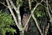 褐林鴞 Brown Wood Owl:A23P7266.JPG