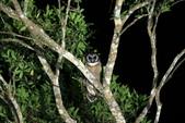 褐林鴞 Brown Wood Owl:A23P4333.JPG