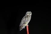 短耳鴞 Short-eared Owl:A23P3955.jpg