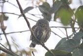 鵂鶹Collared owlet:IMG_9658.JPG