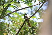 亞洲綬帶 Asian Paradise-flycatcher:IMG_2715.JPG