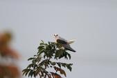 黑翅鳶 Black shouldered kite:IMG_2364.JPG