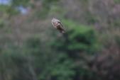 2014 環頸雉 Common Pheasant:A23P5980.JPG