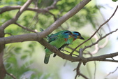 五色鳥交尾:IMG_5294.JPG