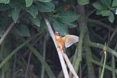 翠鳥 Common Kingfisher:IMG_4946.JPG