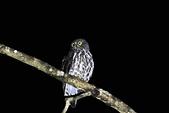 褐鷹鴞 Brown Hawk Owl :IMG_2253.jpg