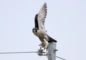 遊隼 Peregrine Falcon:IMG_6339.jpg