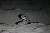 短耳鴞 Short-eared Owl:A23P0332.jpg