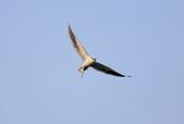 黑翅鳶 Black shouldered kite:A23P1545.jpg