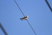 黑翅鳶 Black shouldered kite:IMG_1726.JPG