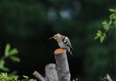 戴勝 Common Hoopoe:A23P5205.jpg
