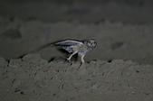 短耳鴞 Short-eared Owl:A23P0366.jpg