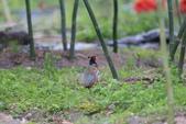 2014 環頸雉 Common Pheasant:A23P5999.JPG