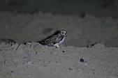 短耳鴞 Short-eared Owl:A23P0487.jpg