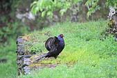 黑長尾雉 Mikado Pheasant:IMG_8032.jpg