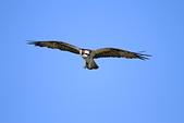 2012 魚鷹 Osprey:IMG_0852.JPG