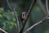 大翅啄木 White-backed Woodpecker:A23P8852.jpg