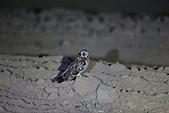 短耳鴞 Short-eared Owl:A23P1069.jpg
