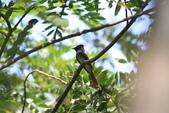 亞洲綬帶 Asian Paradise-flycatcher:IMG_2721.JPG