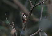 大翅啄木 White-backed Woodpecker:A23P8877.jpg