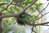 五色鳥交尾:IMG_5287.JPG