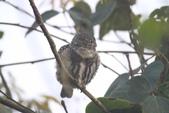 鵂鶹Collared owlet:IMG_9666.JPG