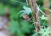 枌紅鸚嘴 Vinous-throated Parrotbill:A23P5965.jpg